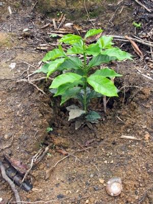 Bio-Kaffeebaum gepflanzt in Bolivien